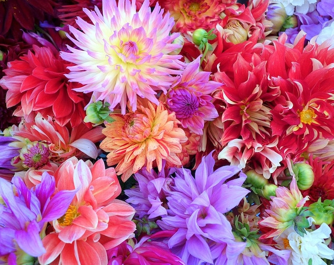 20 Mixed Colors REDSKIN DAHLIA Variabilis Red Skin Mix Bicolor Flower Seeds