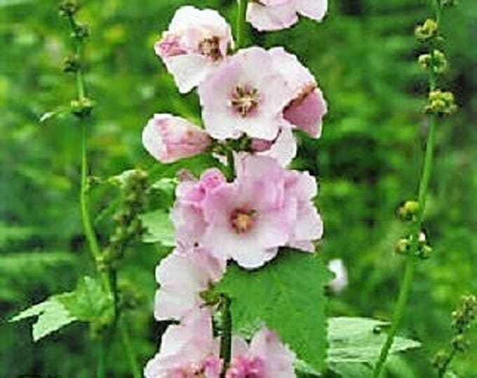50 Pink MOUNTAIN HOLLYHOCK Kankakee Mallow Iliamna Rivularis aka Streambank / Wild / Globemallow Flower Seeds