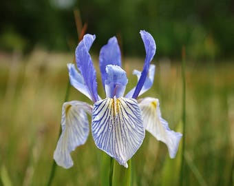 50 MISSOURI IRIS Missouriensis Rocky Mountain Blue Purple Yellow Flower Seeds