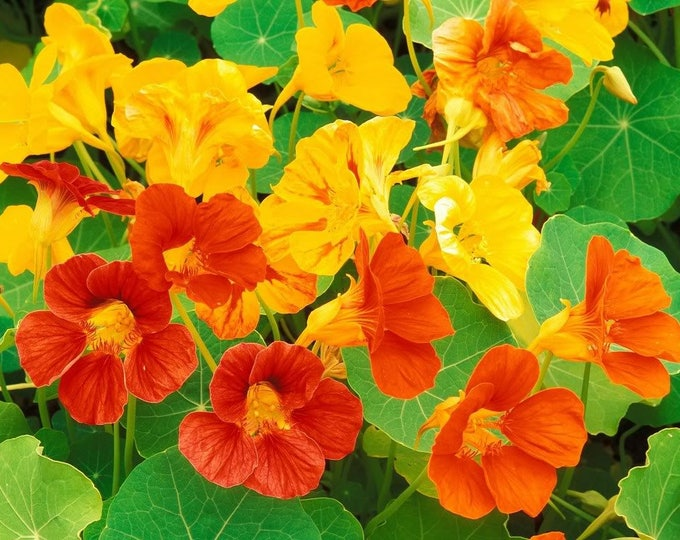 50 Mixed Colors DWARF JEWEL NASTURTIUM Tropaeolum Minus Flower Seeds