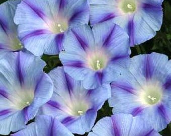 75 Blue STAR MORNING GLORY Ipomoea Tricolor Flower Vine Seeds *Comb S/H