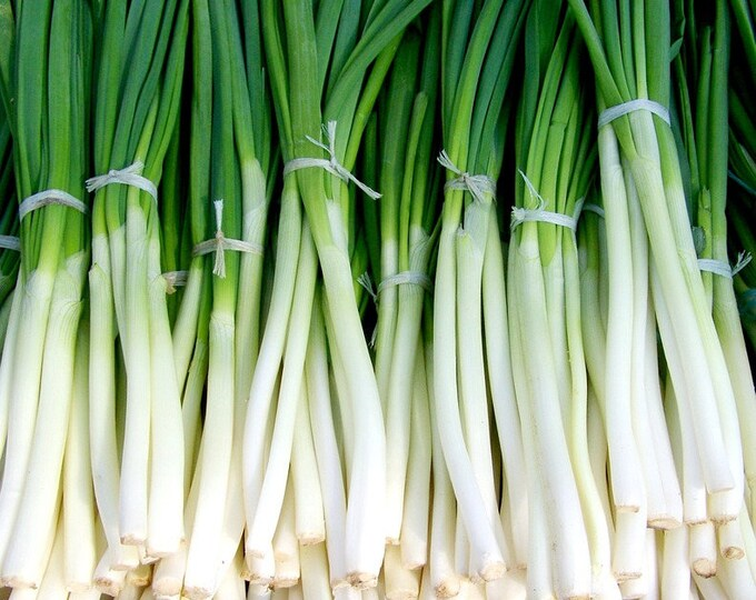 300 Evergreen NEBUKA BUNCHING ONION Japanese Allium Fistulosum Vegetable Seeds
