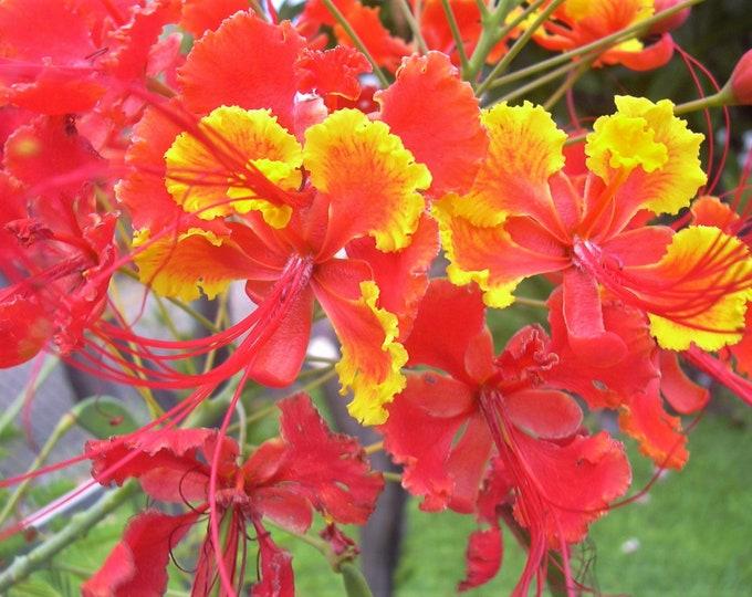 10 RED BIRD Of PARADISE Caesalpinia Pulcherrima aka Pride of Barbados, Dwarf Poinciana, Peacock Flower Seeds