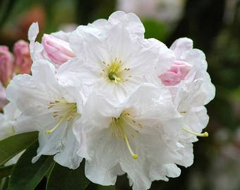 50 FORTUNE RHODODENDRON Fortunei Shrub Rose Pink Mauve White Flower Seeds