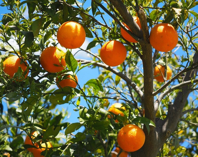 20 TANGERINE Mandrin Orange Citrus Reticulata Fruit Tree Seeds