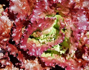 3000 PRIZEHEAD LETTUCE Loose Leaf Early Prize Head Red Lactuca Vegetable Seeds
