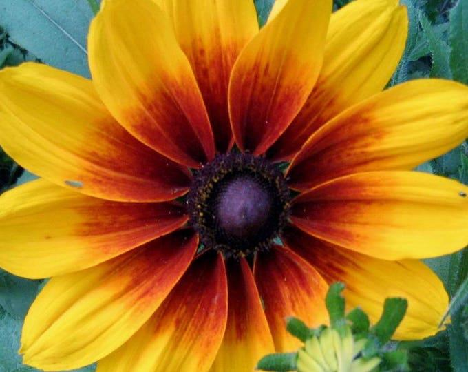 4000 Indian Summer GLORIOSA DAISY Rudbeckia Hirta Red Yellow Brown Flower Seeds