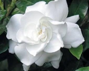 50 GARDENIA / CAPE JASMINE Jasminiodes Fragrant White Shrub Flower Seeds *Comb S/H