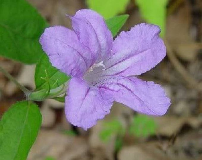 100 Blue Purple FRINGELEAF PETUNIA Wild Ruellia Humilis Flower Seeds *Flat Shipping