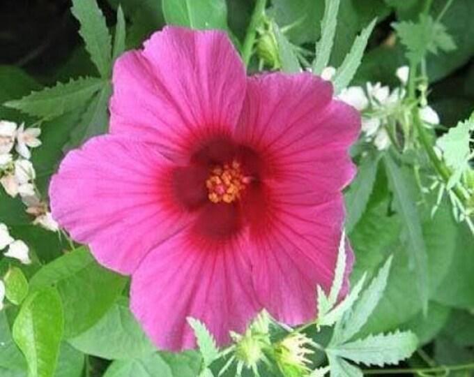 10 KENAF HIBISCUS Cannabinus Indian Hemp Red Flower Seeds *Comb S/H