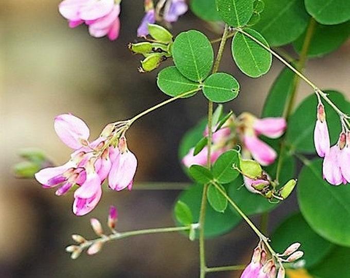 100 BUSH CLOVER Lespedeza Bicolor Bushclover Shrub Pink Purple Flower Legume Seeds