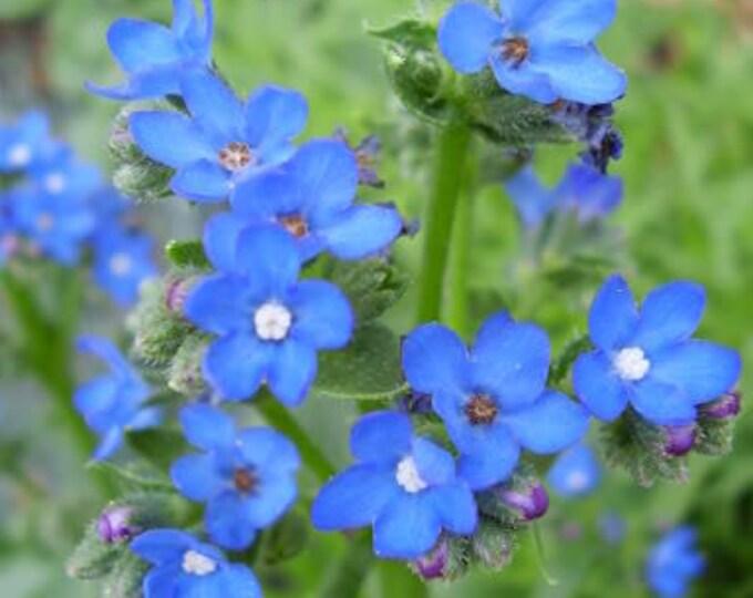 100 BLUE ANGEL ANCHUSA (Summer Forget Me Not) Anchusa Carpensis Flower Seeds