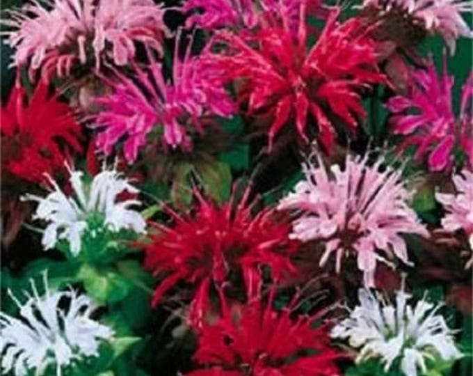 25 BEE BALM MIX Lemon Hummingbird Mint Monarda Didyma Mixed Colors Flower Seeds