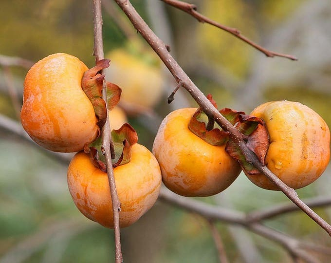10 ITALIAN PERSIMMON TREE Dateplum Date Plum Fruit Diospyros Lotus Seeds
