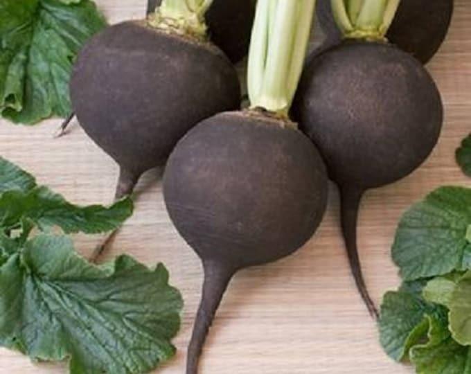 300 BLACK SPANISH ROUND Hot Spicy European Raphanus Sativus Root Vegetable Seeds
