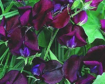 10 BLACK Knight SWEET PEA Lathyrys Odoratus Fragrant Flower Vine Seeds