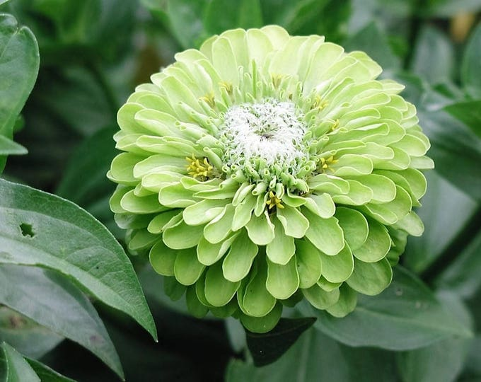 250 GREEN ENVY ZINNIA Elegans Heirloom Chartreuse Double Flower Seeds *Comb Ship