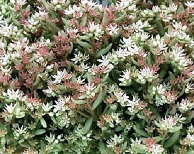 50 White SILVER KING SEDUM Glaucophyllum Flower Succulent Groundcover Seeds *Flat Shipping