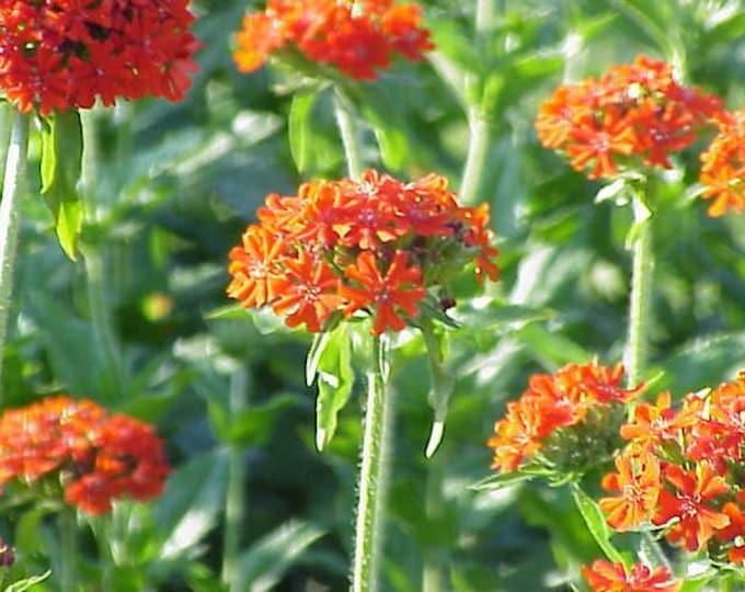 300 MALTESE CROSS (Jerusalem Cross / Campion) Lychnis Chalcedonica Flower Seeds