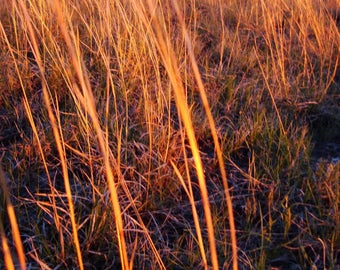 300 LITTLE BLUESTEM GRASS Schizachyrium Scoparius Seeds