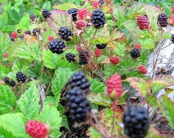 25 TRAILING BLACKBERRY Pacific Rubus Ursinus Vining Shrub Fruit Berry Seeds