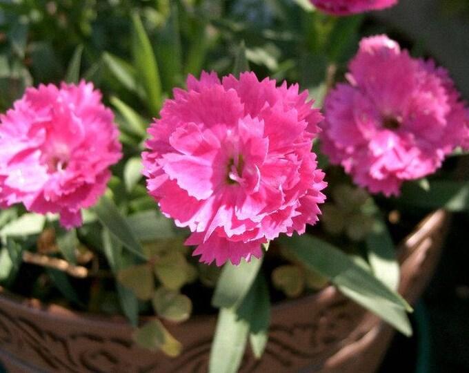 1000 CHINESE PINKS (China Pinks / Rainbow Pink) Dianthus Chinensis Flower Seeds