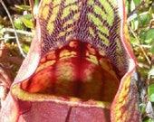 10 Carnivorous PURPLE PITCHER PLANT ( Turkish Red Northern ) Sarracenia Purpurea Flower Seeds