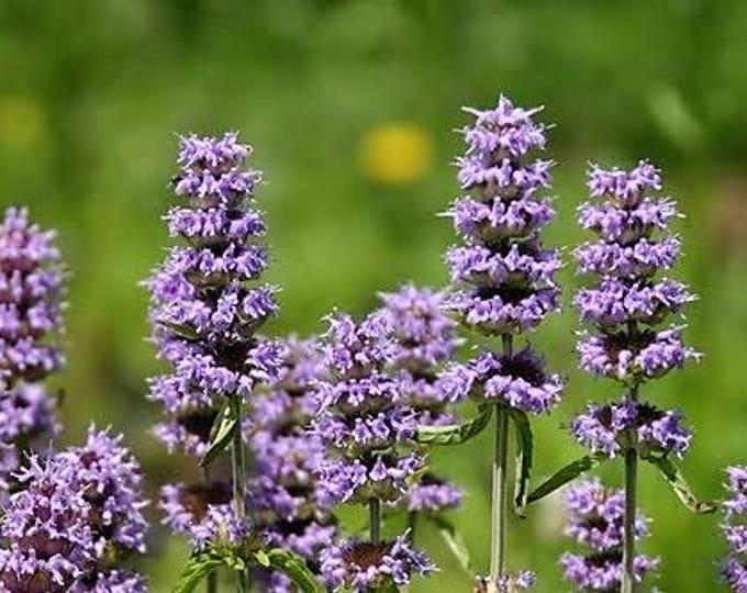 200 PURPLE WOOD MINT Blephilia Ciliata Downy Pagoda Horsemint Herb Flower Seeds