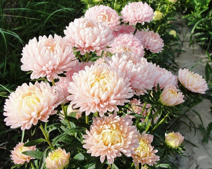 30 Duchess APRICOT PAEONY ASTER French Peony Callistephus Double Flower Seeds *Flat Shipping
