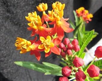 100 SUNSET MILKWEED Asclepias Curassavica Scarlet Blood Flower  Seeds *Comb S/H