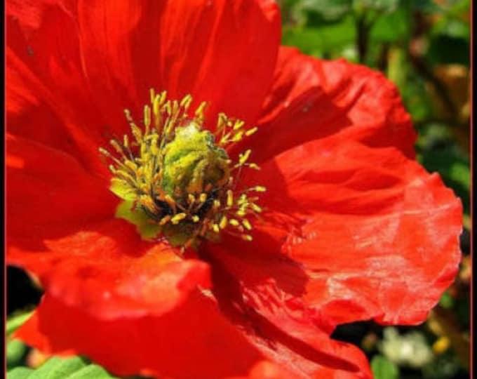 100 RED CALIFORNIA POPPY Eschscholzia Californica Flower Seeds