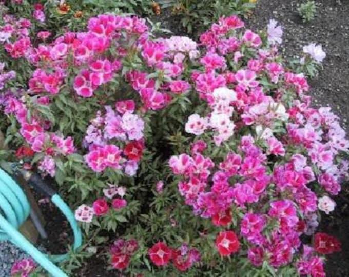 500 MIXED COLORS GODETIA Clarkia Amoena Flower Seeds