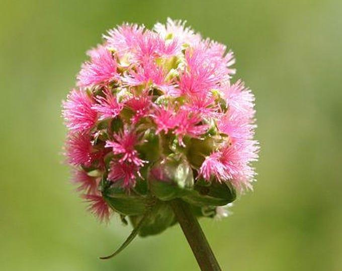 500 SALAD BURNET Sanguisorba Minor Edible Greens Vegetable Herb Flower Seeds