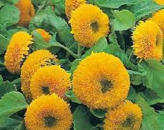 150 Double DWARF TEDDYBEAR SUNFLOWER Helianthus Annuus Yellow Flower Seeds