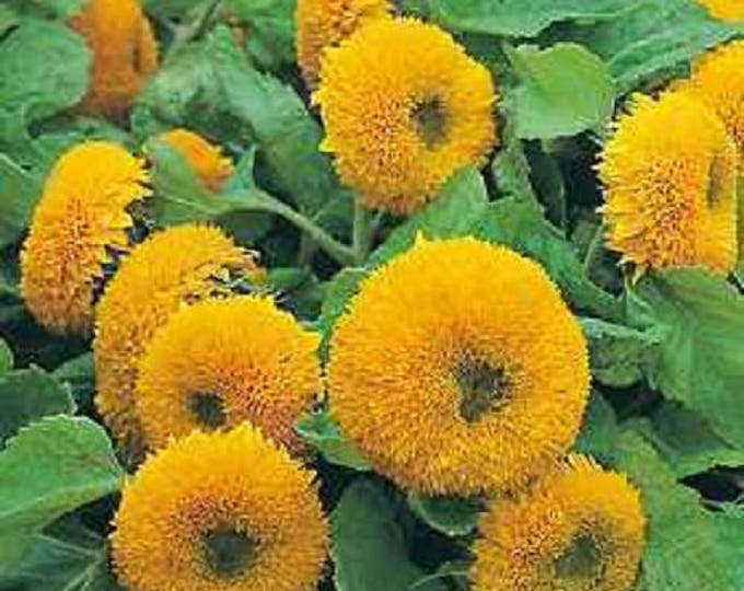 150 Double DWARF TEDDYBEAR SUNFLOWER Helianthus Annuus Yellow Flower Seeds