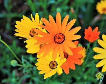 1000 MIXED AFRICAN DAISY ( Cape Marigold / Sun Marigold ) Dimorphotheca Sinuata Flower Seeds