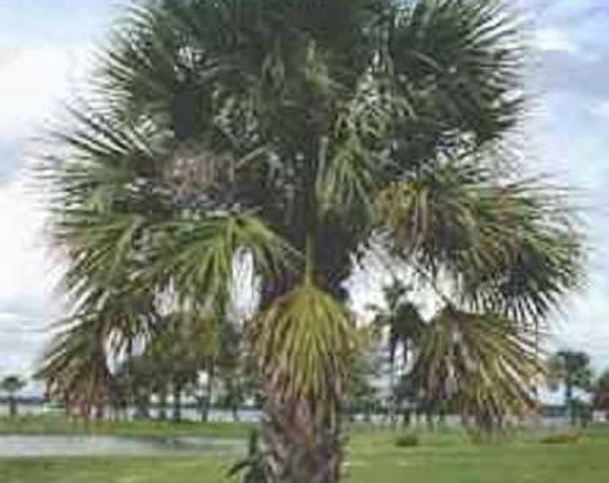10 Hardy SABAL PALM TREE Cabbage Palmetto Flower Seeds