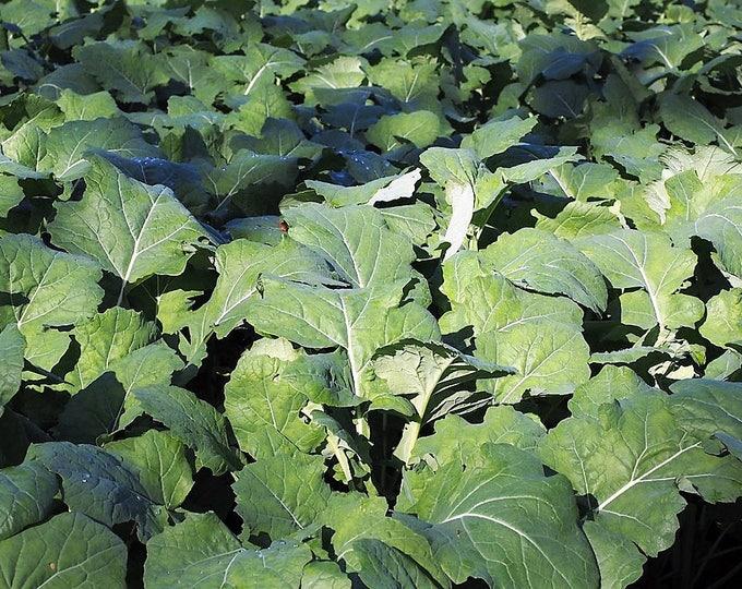 1000 Dwarf ESSEX RAPE KALE Brassica Napus Vegetable Seeds