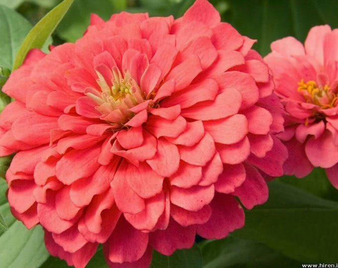250 SALMON QUEEN ZINNIA Elegans California Giant Double Flower Seeds