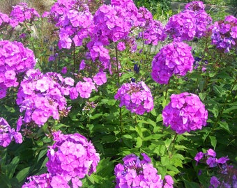 10 Tall PURPLE PHLOX Paniculata Garden Summer Native Hummingbird Flower Seeds