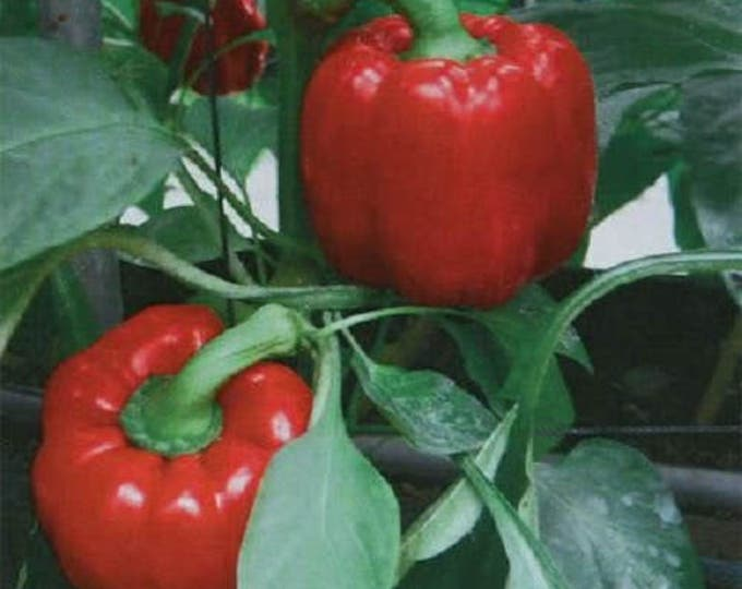 150 Yolo Wonder Sweet RED BELL PEPPER Capiscum Annuum Vegetable Seeds *Comb S/H