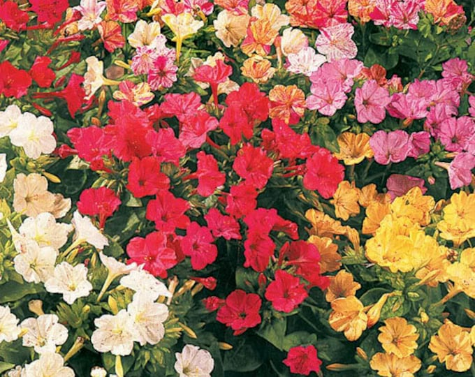75 MIXED FOUR O CLOCK aka Marvel of Peru Mirabilis Jalapa Flower Seeds
