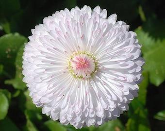 500 Dwarf WHITE ENGLISH DAISY Bellis Perennis Flower Seeds
