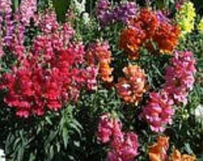 2000 NORTHERN LIGHTS Mix SNAPDRAGON Linaria Maroccana Flower Seeds