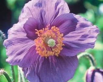 10 VIOLET HIMALAYAN POPPY Meconopsis Betonicifolia Purple Hensol Flower Seeds
