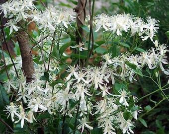 20 WHITE CLEMATIS Virginiana / Virgins Bower Flower Vine Seeds *Flat Shipping