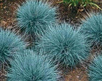 100 BLUE Sheeps FESCUE GRASS Fesnea Ovina Glauca Aestivum Seeds