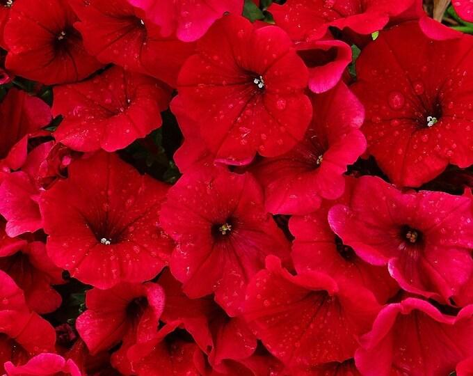 500 Fire Chief RED PETUNIA Nana Compacta Sun Annual AAS Winner Fragrant Hummingbird Flower Seeds
