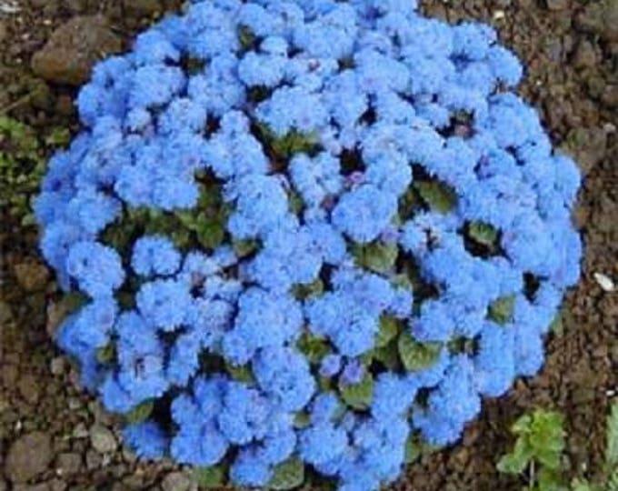 250 Dwarf BLUE BEDDER AGERATUM aka Floss Flower Ageratum Houstonianum Flower Seeds