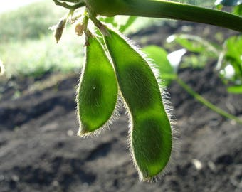 20 Buttery Edamame TOHYA SOYBEAN Pale Green Glycine Max Soy Bean Vegetable Seeds